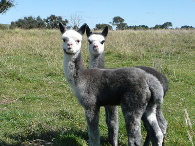 Two baby alpacas